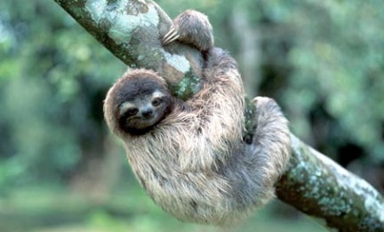 three-toed-tree-sloth