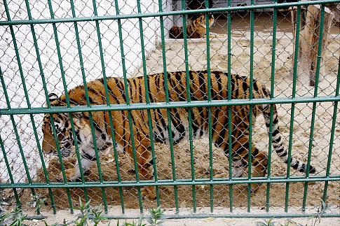 tiger_vietnam_zoo