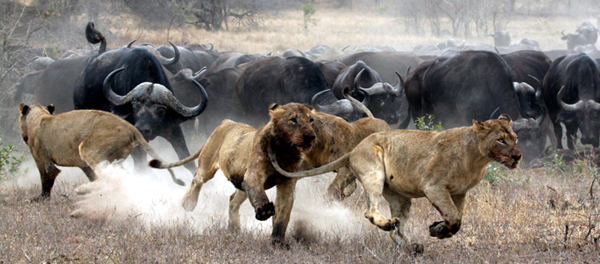 buffaloes chase off lions