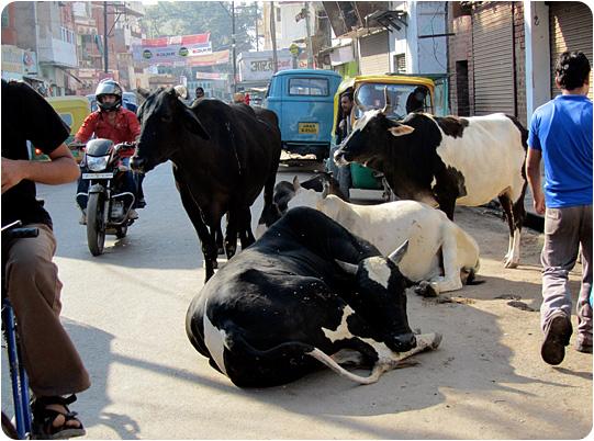 cows on the road varanasi