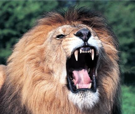 roaring lion s