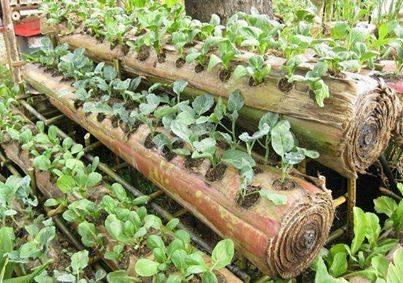 Plantain trunk farming