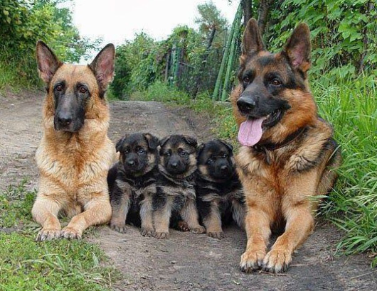 http://germanshepherdtribune.com