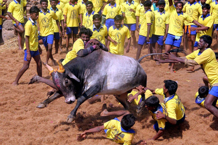 Man riding hump of bull at Jallikattu