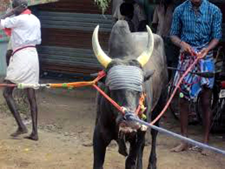 Another type of Jallikattu