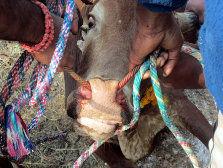 Bull controlled by rope through its nostrils