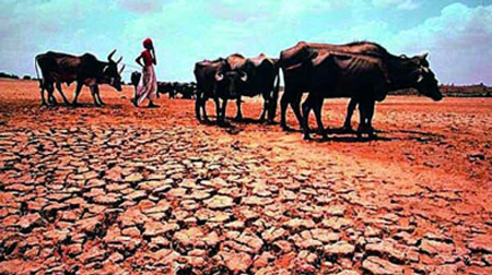 Maharashtra drought Cattle