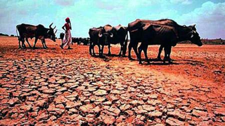 Maharashtra drought Cattle
