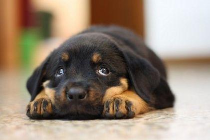cute sad rottie