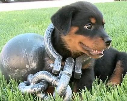 funny rottie in chains