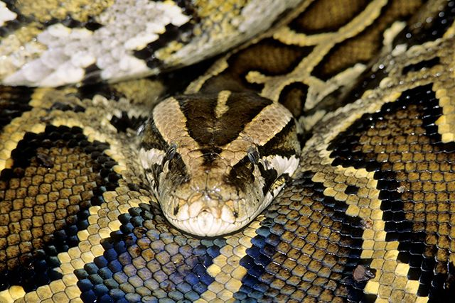 Pythons in residential areas