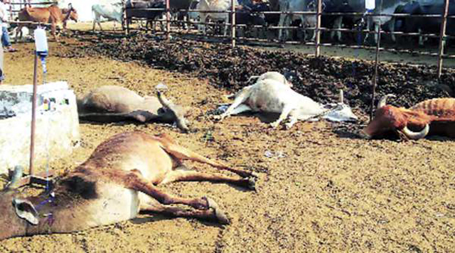 cows die in rajasthan aug 16