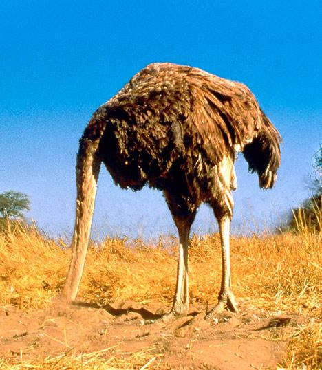 ostrich_head_sand