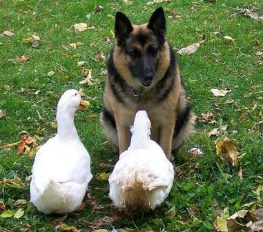 German Shepherd with Ducks