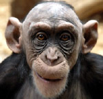 grinning chimp