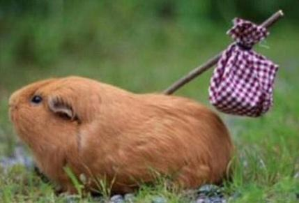 funny-guinea-pig-running-away