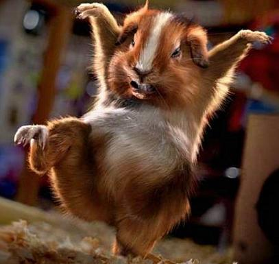 funny-guinea-pig