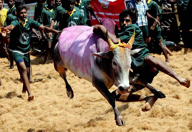 epa03062403 A bull runs through a crowd with a young bull-fighter hanging on during the bull-taming festival of Jallikattu at Palamedu village near the ancient temple city of Madurai, 500 km south of Chennai, India, 16 January 2012. This annual traditional rural sport is a part of the south Indian harvest festival Pongal. The bulls are freed one by one from a corner and the bull-fighter has to catch the bull and run with it for a distance of 30 metres to claim a prize. Thousands of people attend the festival in which more than 600 bulls take part. EPA/JAGADEESH NV