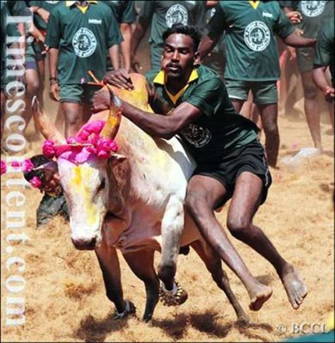 b-bulls-winning-at-jallikattu