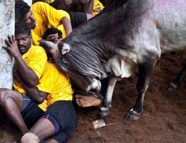 bull-gores-q