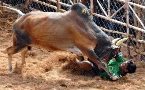bull-on-fighter