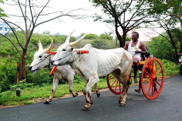 bullock-cart-racing-avaniyapuram_madurai
