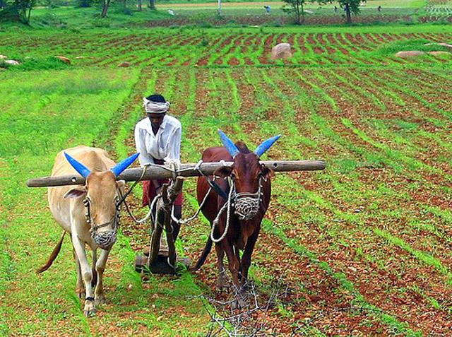 bullock-farming
