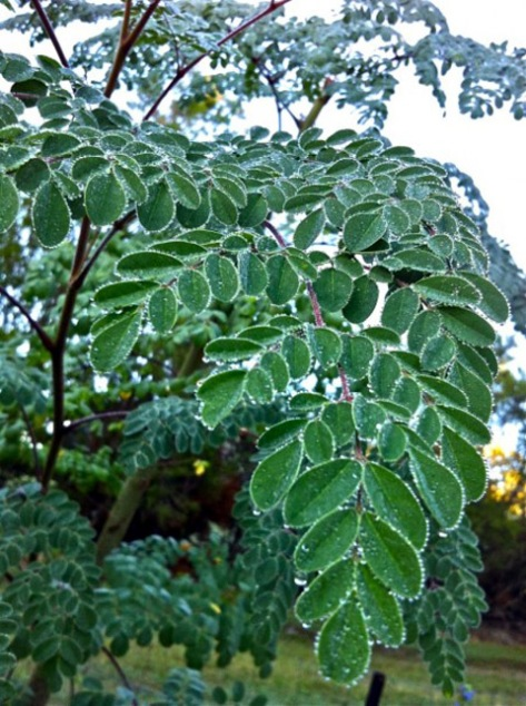 drumstick-leaves