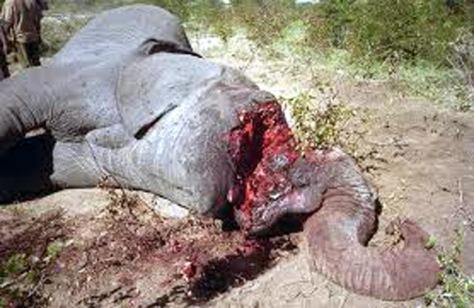 ele-killed-for-ivory